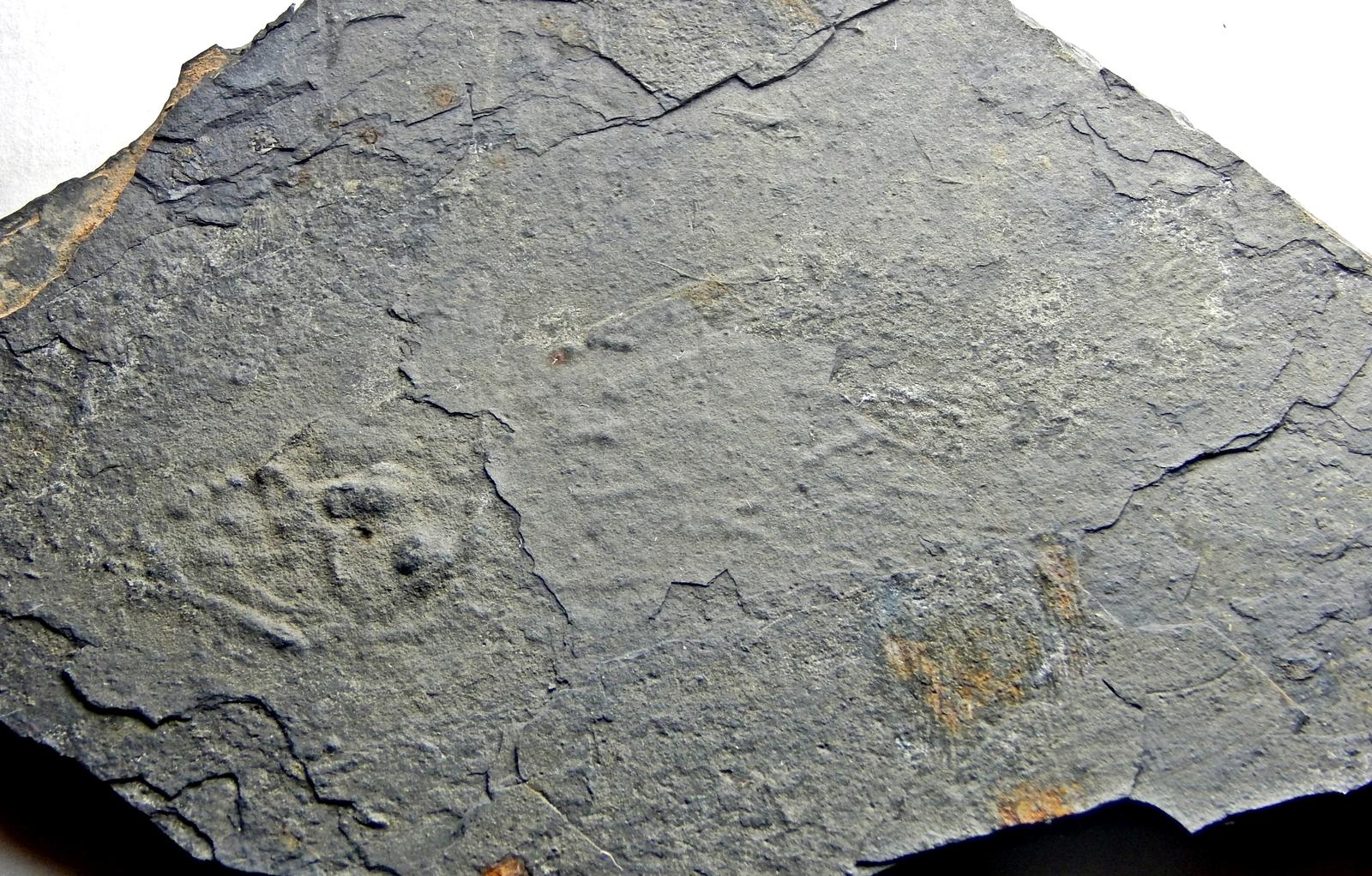 Triassic coelacanth