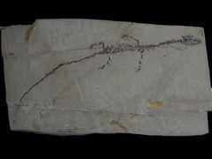 Hyphalosaurus baitaigouensis Ji et al., 2004