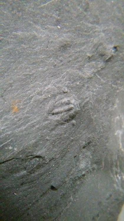 trilobite 2.jpg