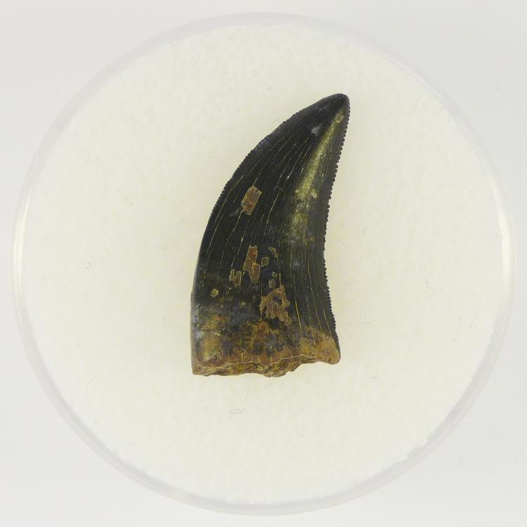 Albertosaurus 1.3.JPG