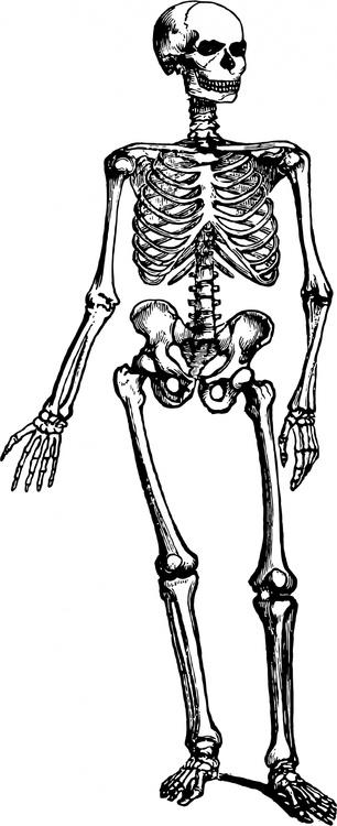 human-skeleton-1443448355y0V.thumb.jpg.7c64a27064f1aa89aa1eea388c84364e.jpg