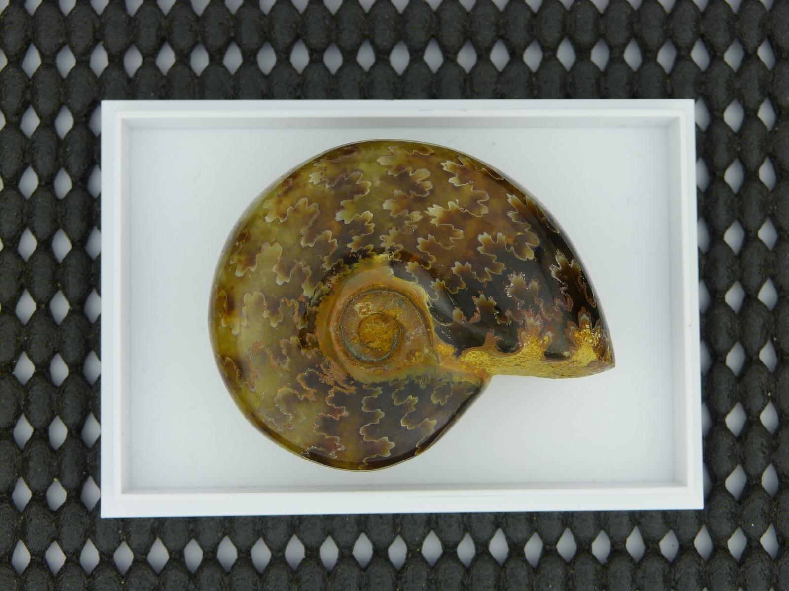 Ammonite 3.JPG