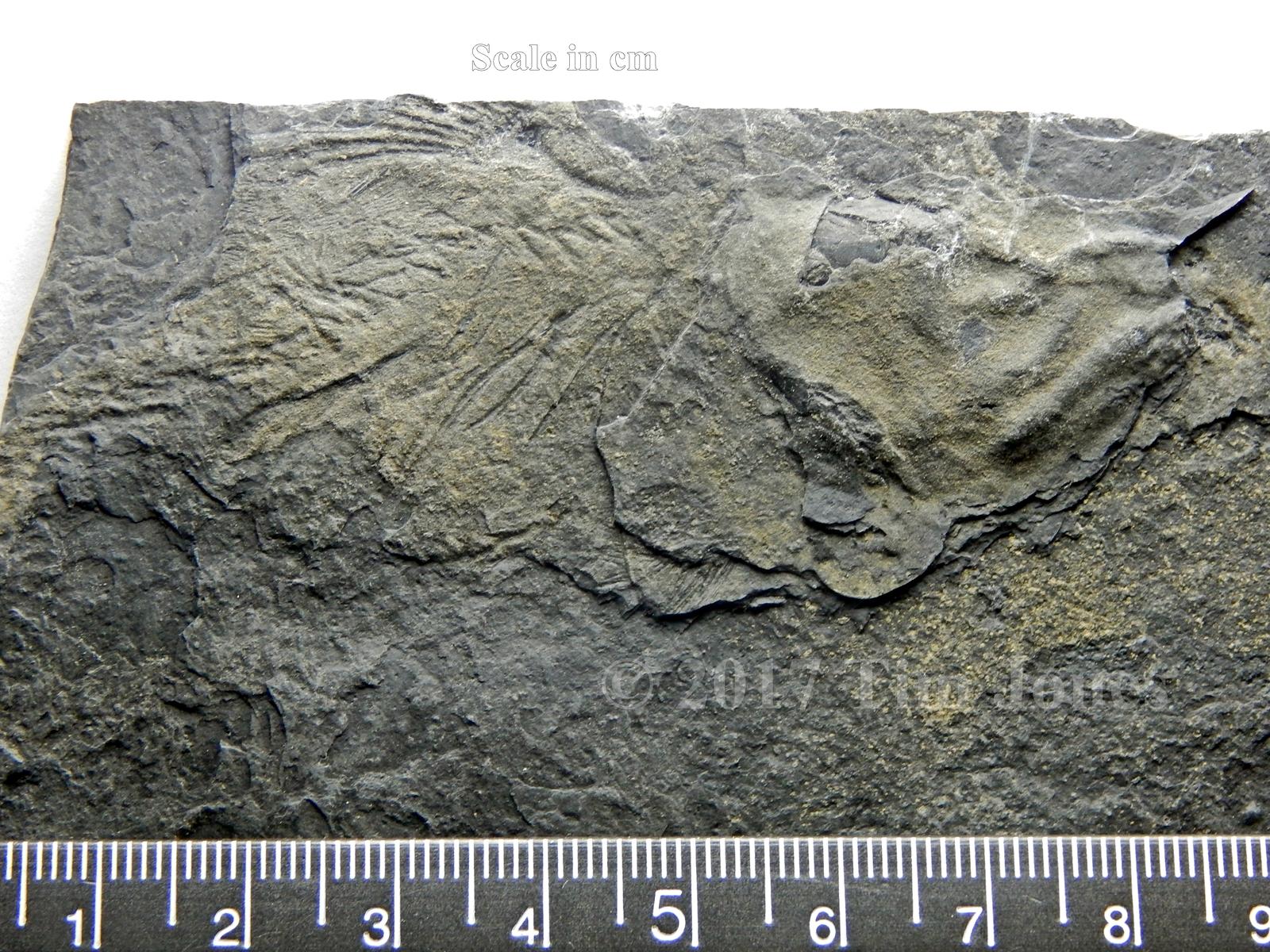Diplurus partial