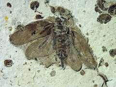 Cicadomorpha non det.