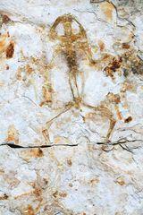 Genibatrachus baoshanensis GAO & CHEN, 2017