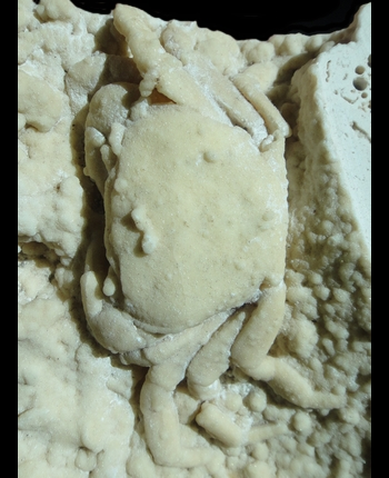 Potamon potamios 2.jpg