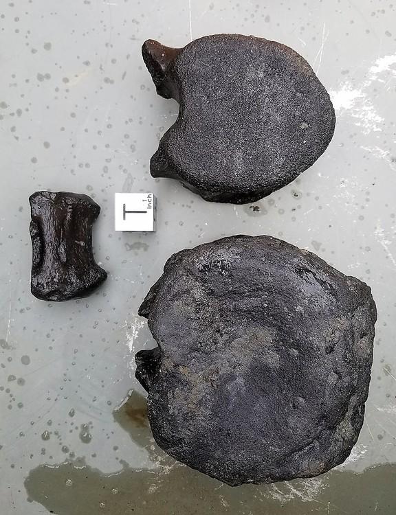 58ff5f90ed72b_HadrosaurVerts.thumb.jpg.47271fe8eaa1e93e5e85fd973f468a7f.jpg
