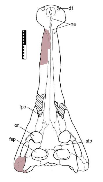 Elosuchus_skull01.jpg.be23b4a299aa309ae841122ca4d00f56.jpg