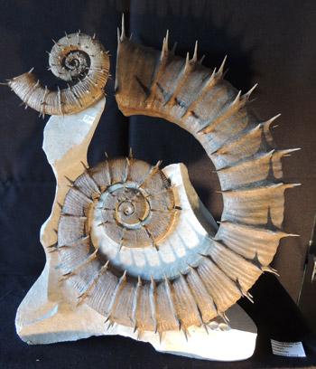 OIAAF15_Fossil-Ammonite-Crioceras-nolani_Peter-Pittmann-Fossilien.jpg