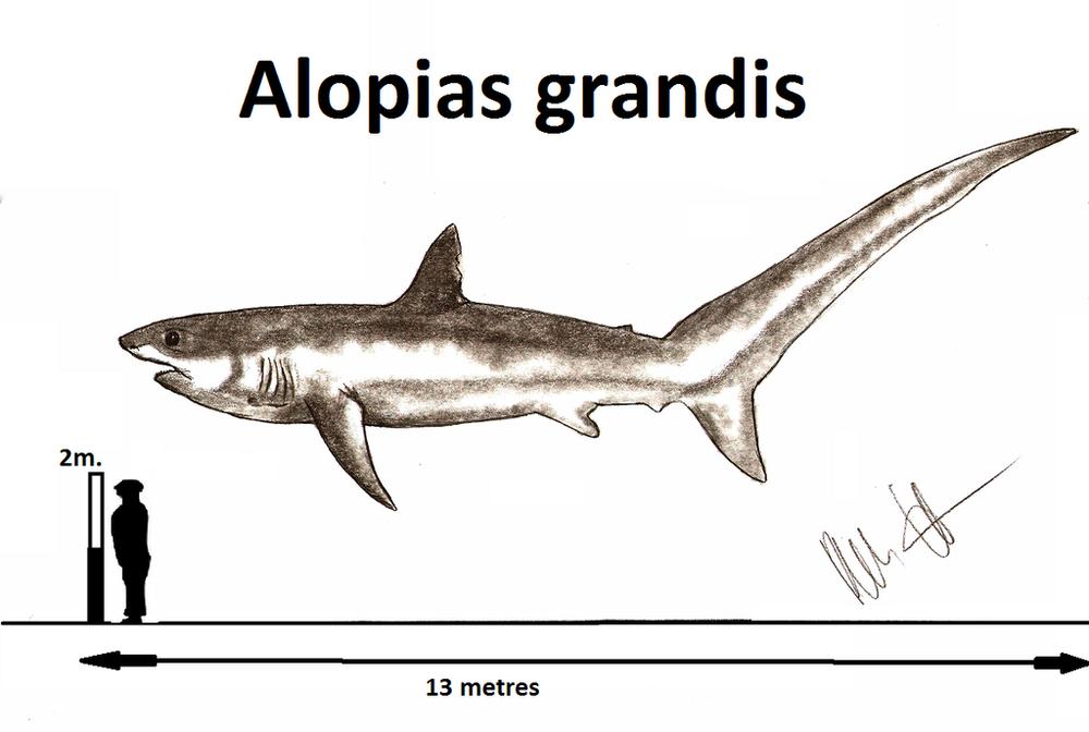 alopias_grandis_by_teratophoneus-d8w41j6.png