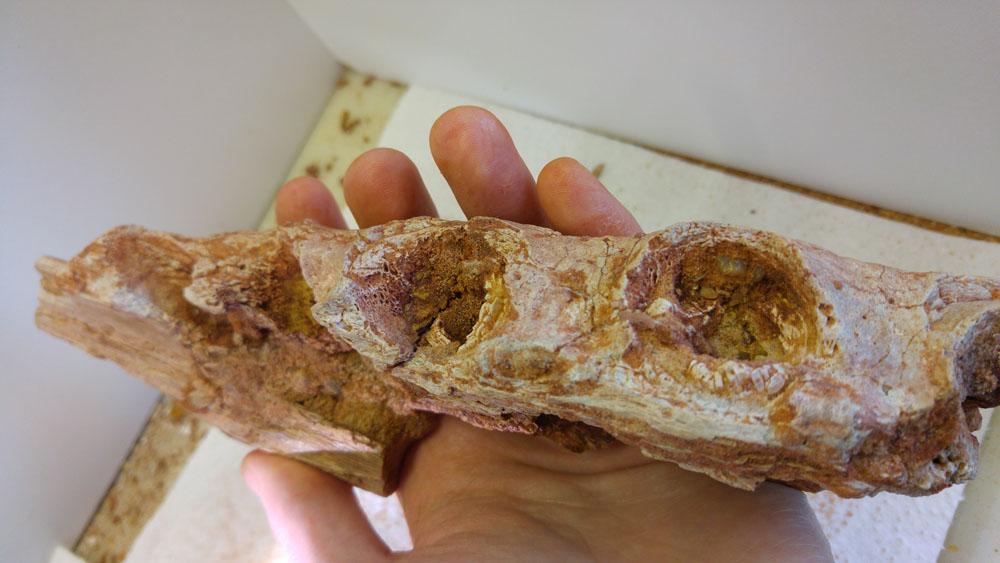 elosuchus03.jpg