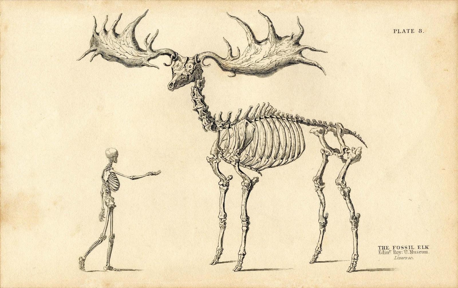 Irish Elk Diagram