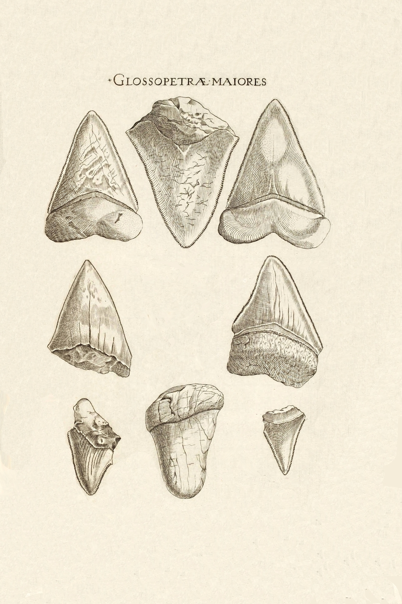Nicholas Steno S Fossil Shark Tooth Diagram Members Gallery The