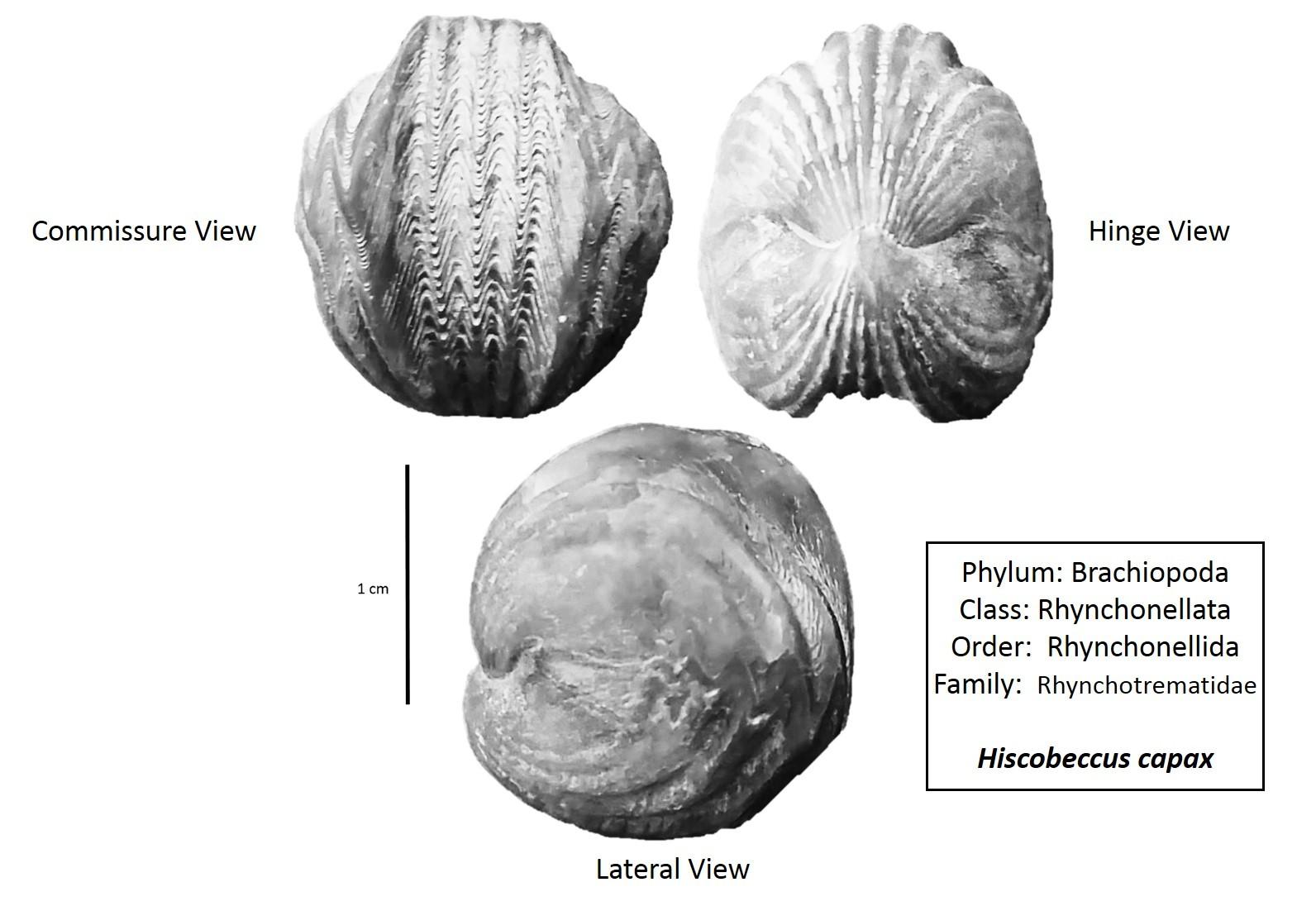 Hiscobeccus capax