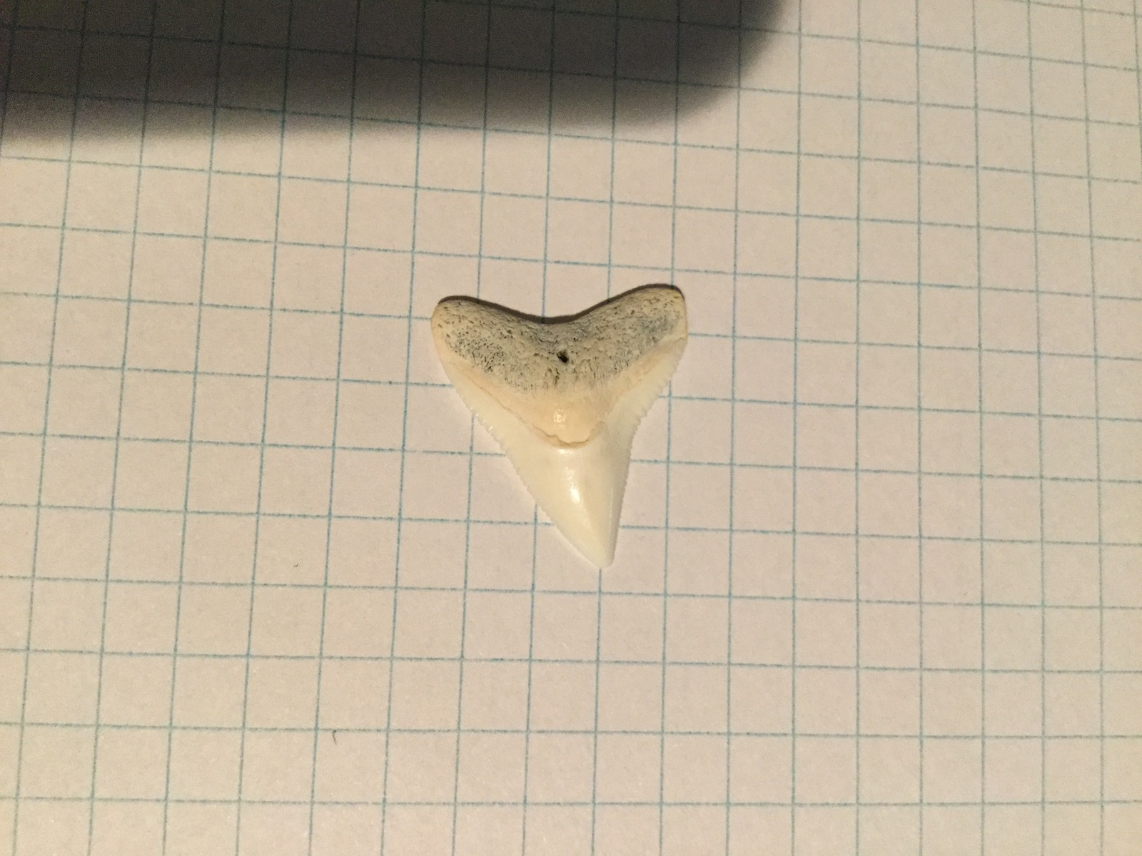 Medium Dusky or Bull Sharks' Tooth (3)