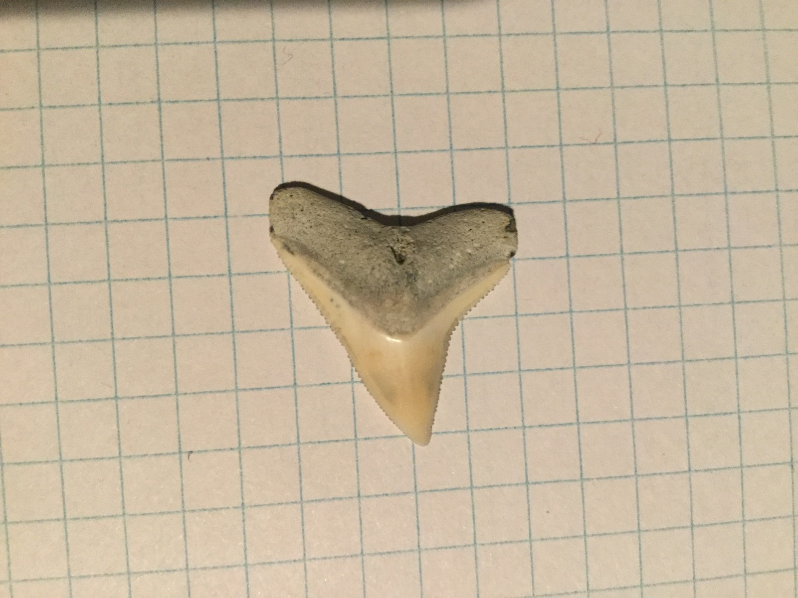 Larger Dusky or Bull Sharks' Tooth (3)