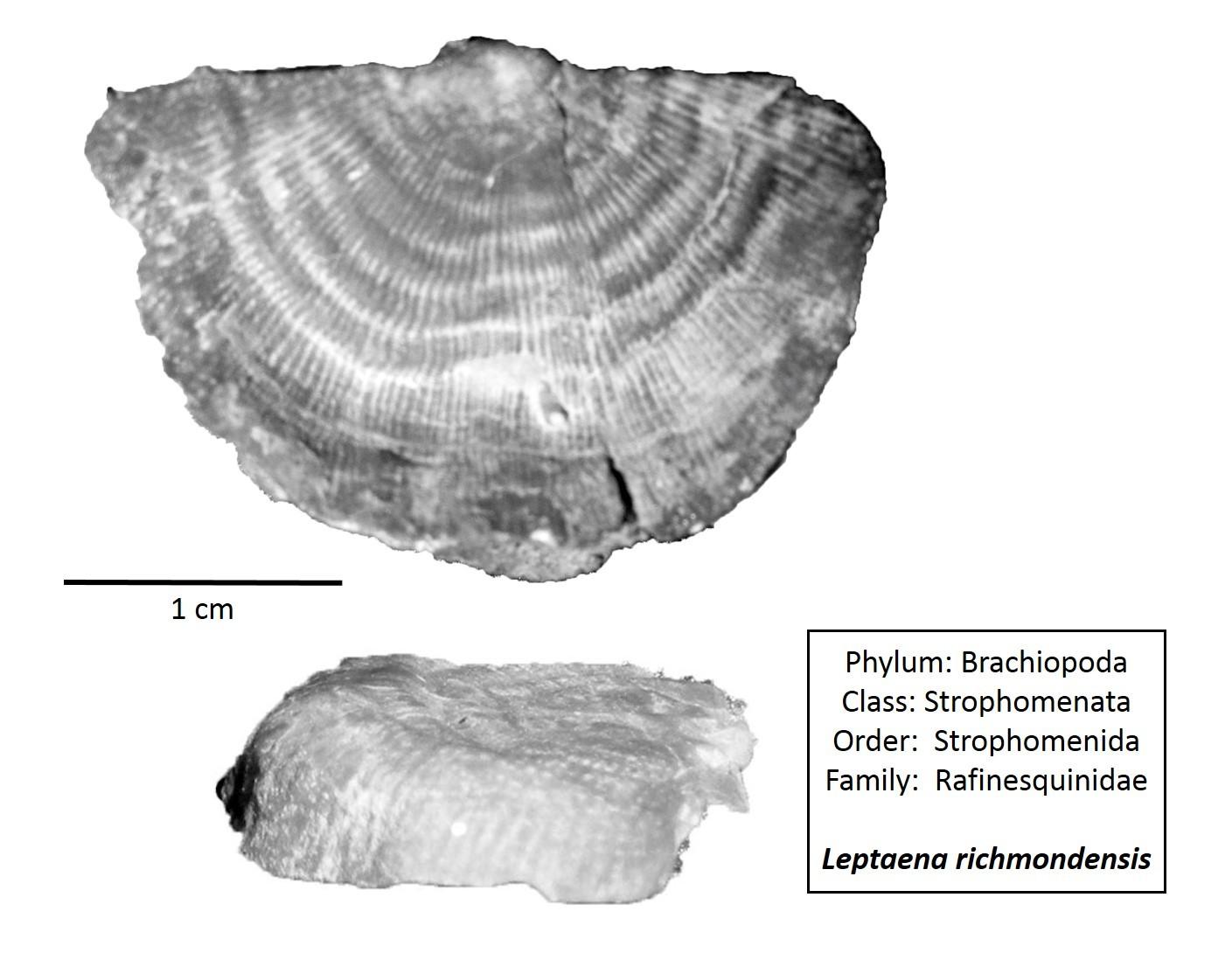 Leptaena richmondensis