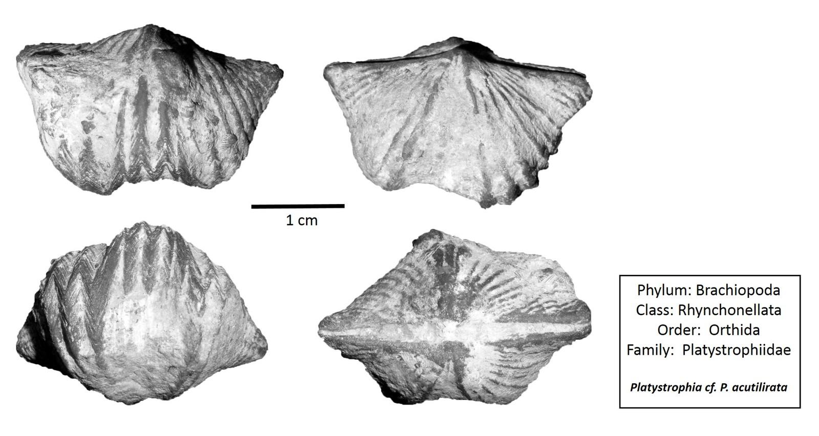 Platystrophia cf. P. acutilirata