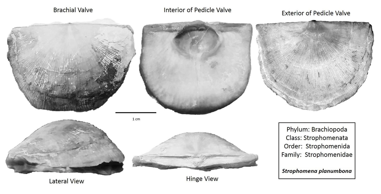 Strophomena planumbona