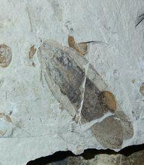 Perlucipecta aurea Wei & Ren, 2013