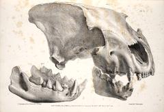 English Hyena Diagram