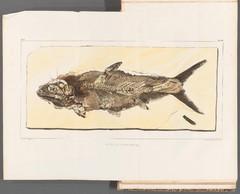 Fossil Fish Diagram