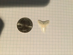 Medium Dusky or Bull Sharks' Tooth (2)