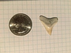 Larger Dusky or Bull Sharks' Tooth (2)