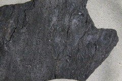 Lycopod Bark