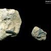 Fossil Shark Teeth in situ 01