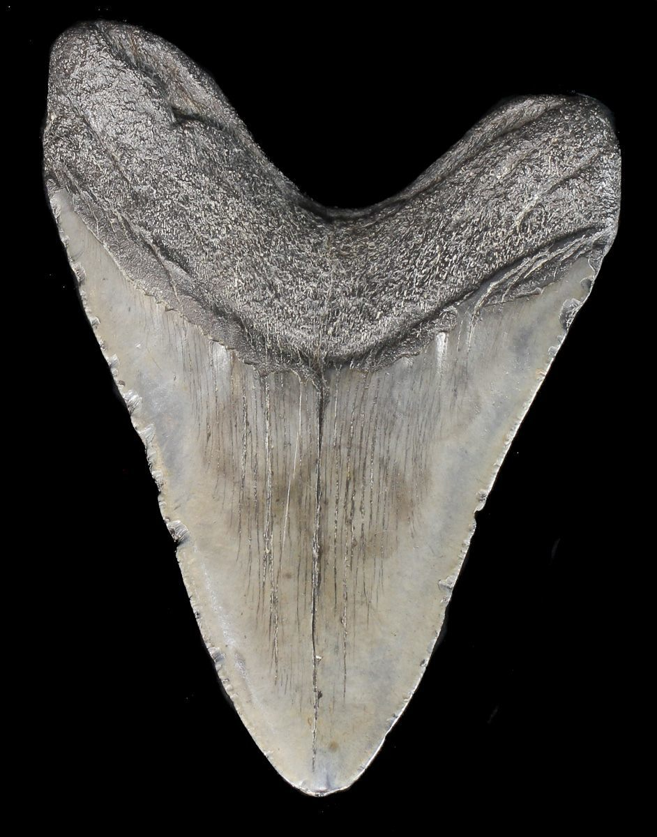 megalodon tooth for sale ebay
