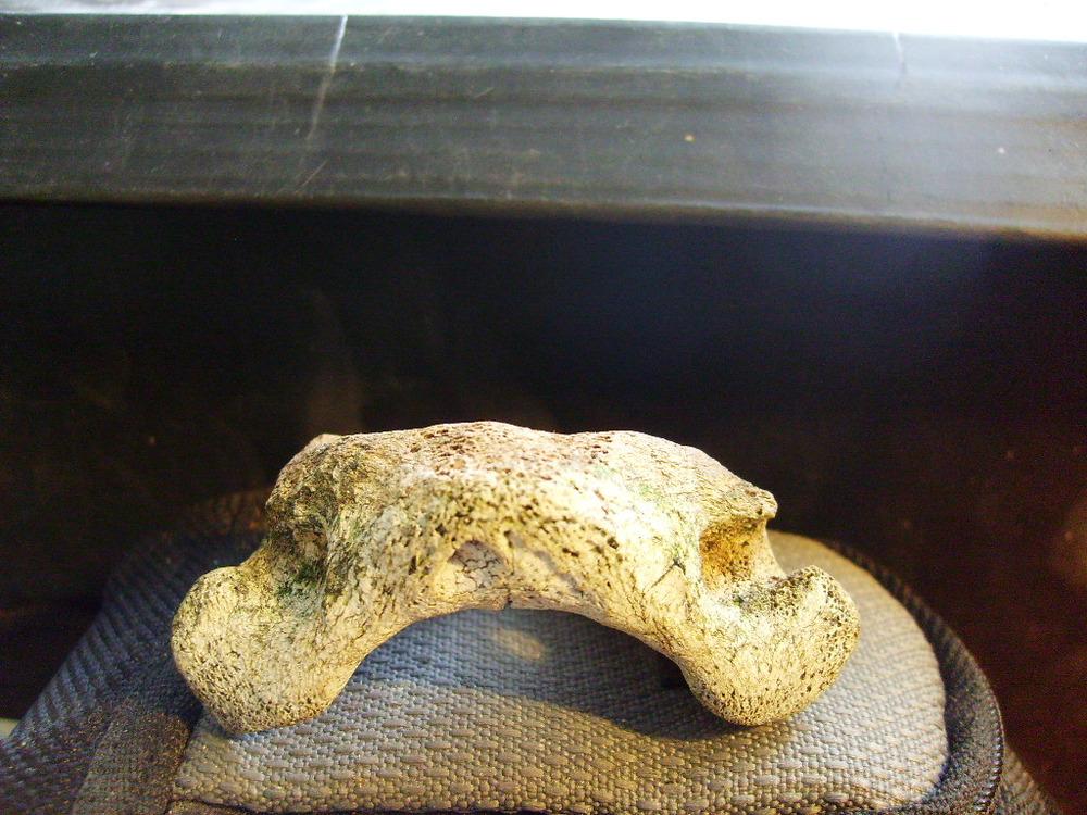 Felid atlas vertebrae 3.JPG