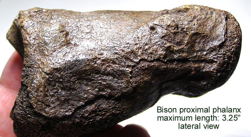 bison_prox_phalanxA.JPG