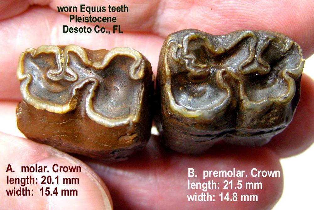 horse_pair_equus_A.thumb.JPG.968d0f2f0c1a7ec64522c76f978dc7bc.JPG