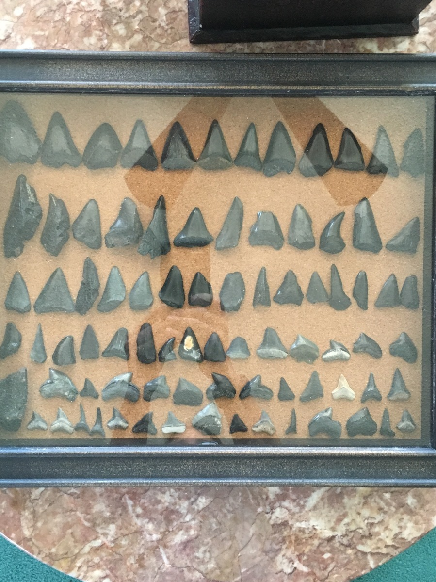 shark tooth display jpg members gallery the fossil forum