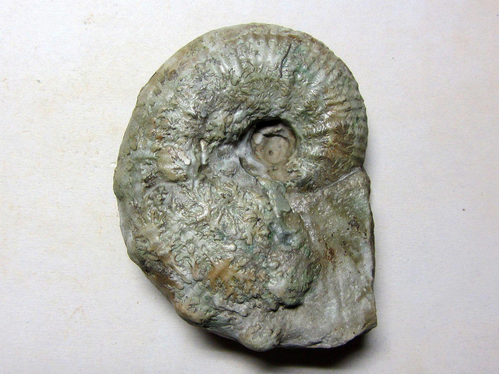 Taramelliceras (Taramelliceras) compsum (Oppel 1863)