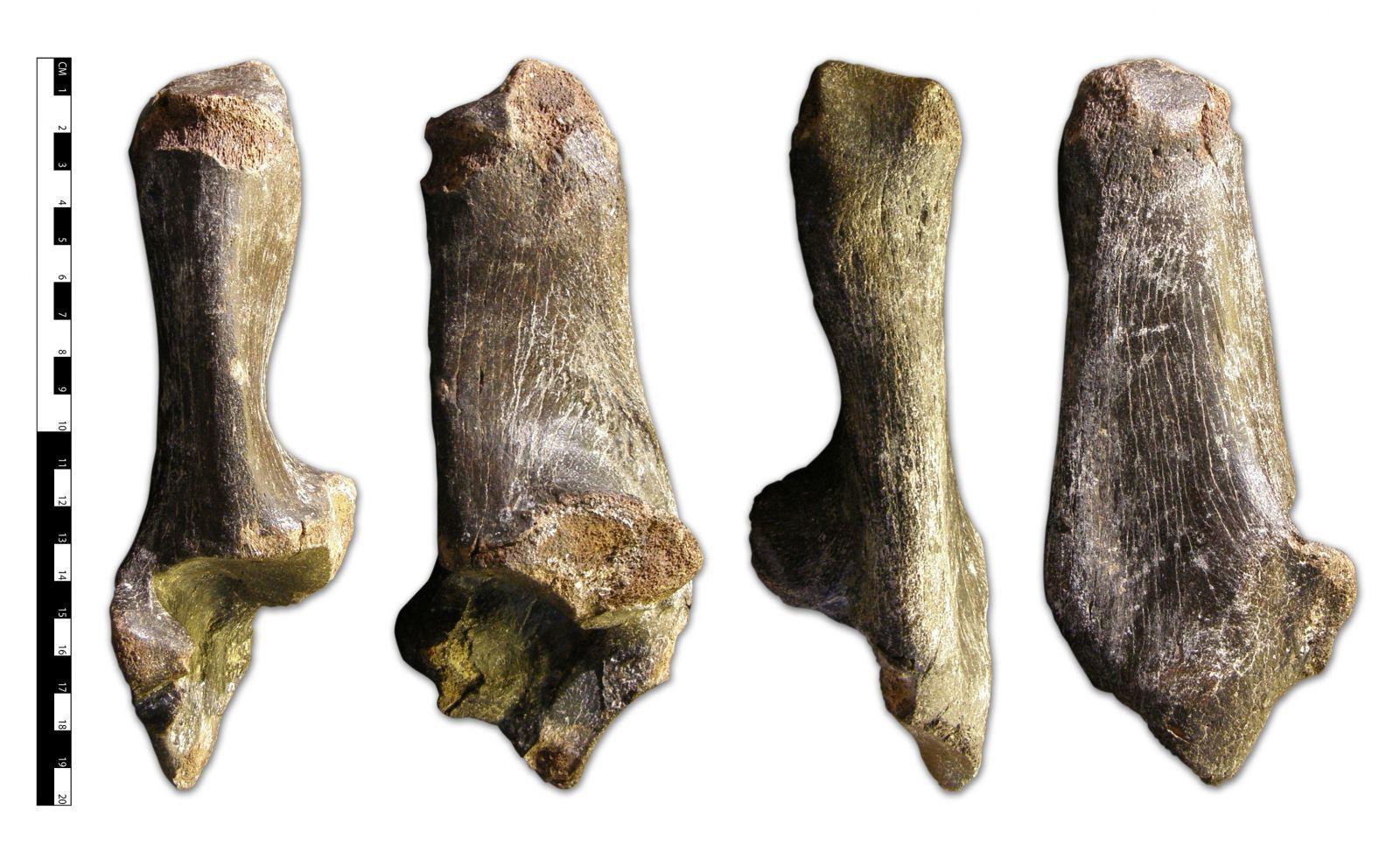 Bison priscus Calcaenum