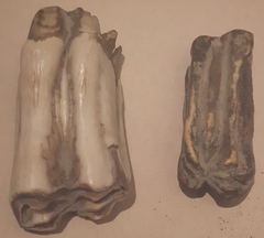 Bison and cow teeth
