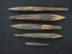 Hibolithes semihastatus rotundus (Quenstedt 1848) & Belemnopsis subhastata (Zieten 1831)