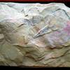 Vetulicola gangtoucunensis