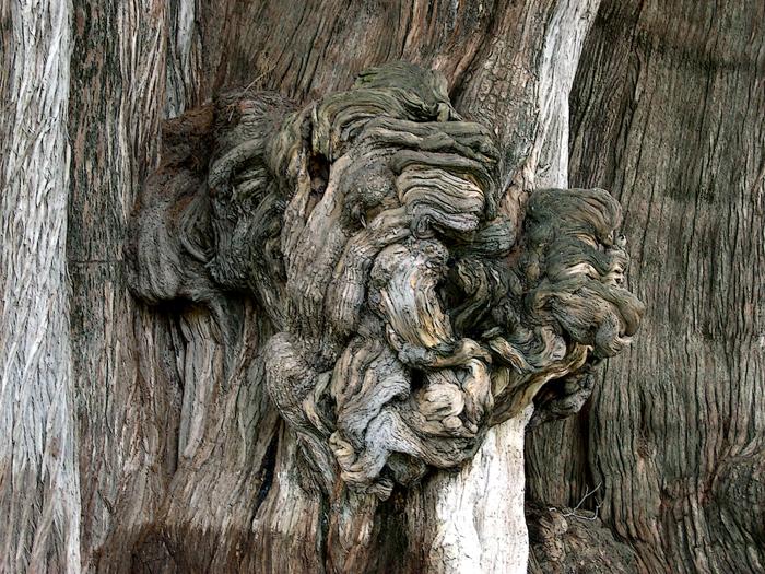 tule-tree-burl.jpg