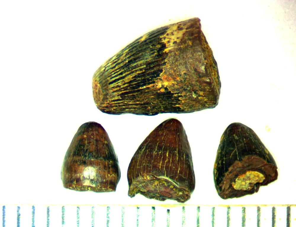 croc tooth quad 2.jpg
