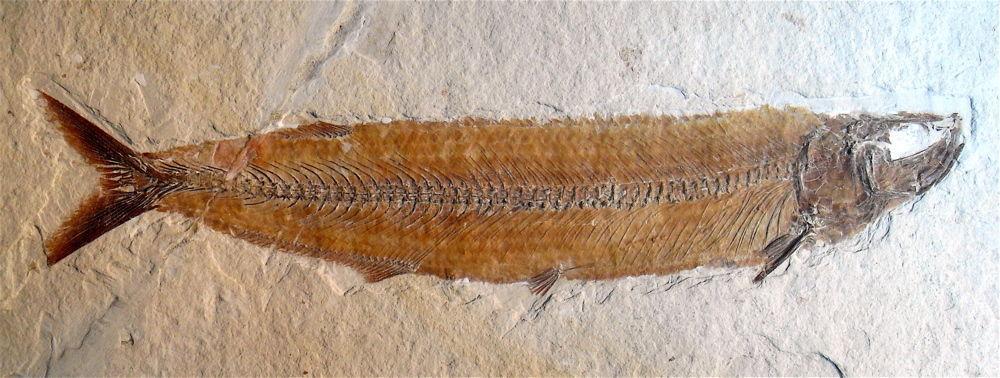 Allothrissops salmoneus Blainville, 1818