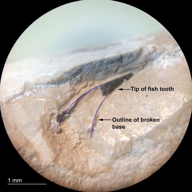 Coprolite-Inclusion-Tooth-Jiufotang-Formation-China-40x-1.jpg