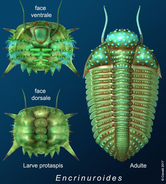 encrinuroides-protaspis-adulte.jpg