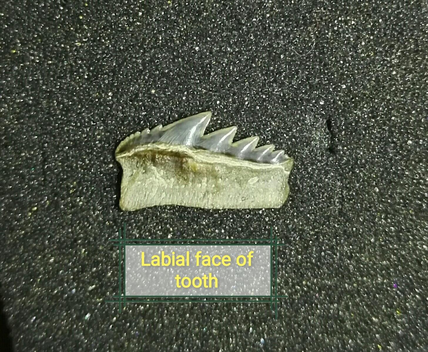Notorynchus serratissimus shark tooth
