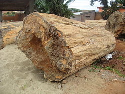 petrified-wood-log-100cm-1.jpg