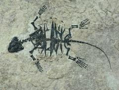 Baenidae indet.