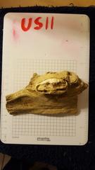 Ursus Spelaus (US11)