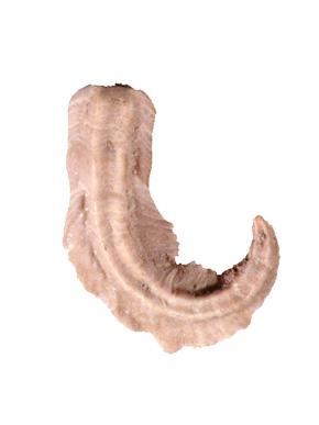 hamulus squamosus.jpg